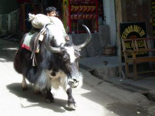Buffalo and Yaks everywhere in the streets of Manali