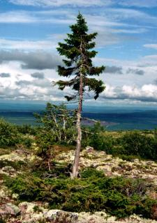 Old Tjikko, the oldest tree in the world, seen during this tour